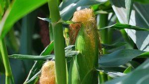 Seda de maíz: los beneficios y daños, métodos de uso.