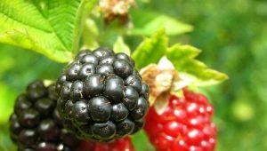 Cumanica: apa itu, di mana varieti terbaik berkembang