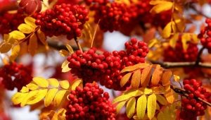 Descrição, propriedades e coleção de bagas de outono