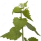 Rumput bawang putih (bawang putih)
