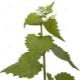 Czosnkowa trawa (czosnek)