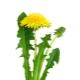 Πικραλίδα λουλούδια