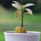 Как да расте авокадо от костите у дома?