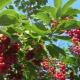 Cereja vermelha: propriedades úteis, plantio e cuidado