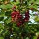 Tipos de cereja virgem: descrição e plantio