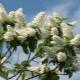 Minden a madár-cseresznyével kapcsolatban: tulajdonságok és tulajdonságok