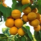 Apricot Rattling: ciri-ciri pelbagai dan ciri-ciri penanaman