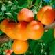 Apricot Triumph of the North: perihalan pelbagai dan nuansa teknologi pertanian