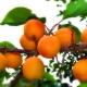 Abrikosų Sibire: kaip auginti pietinius vaisius atšiauriuose klimatuose?