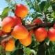 Abrikosai: sodinimas, auginimas ir priežiūra
