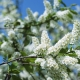 Madár-cseresznye: virágzó idő Oroszország különböző régióiban