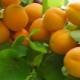 Aprikot kolonik: ciri-ciri jenis, pelbagai dan peraturan penanaman