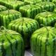 Szögletes görögdinnye: mi ez és hogyan kell nőni?