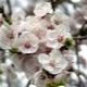 Apricot tidak berbunga: sebab-sebab kekurangan ovari dan cara untuk memastikan berbuah