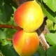 Ciri-ciri varieti aprikot Akademik