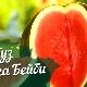 A görögdinnye-fajták Sugar Baby-féle növekvő folyamata