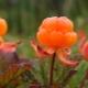 Cloudberry: características, cultivo e aplicação