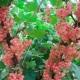Grosella rosada: descripción de variedades y su cultivo.