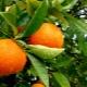 Kiek apelsinų sveria?