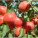 Ποικιλίες βερίκοκων: χαρακτηριστικά και συστάσεις για επιλογή