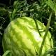 A görögdinnye növekvő technológiája az üvegházban