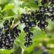 Elección de variedades de grosella negra para los Urales.