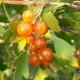 Grosella dorada: descripción, tipos y cultivo.