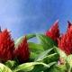 Amarantas: auginimas, sodinimas ir priežiūra atvirame lauke