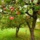 Árvores frutíferas para o jardim: características de escolha, plantio e cuidado