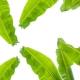 A banánlevél jellemzői és a használatukra vonatkozó tippek