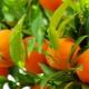 Apelsinų sveikata ir nauda