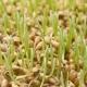 Trigo germinado: los beneficios y daños, las reglas de recepción y las características de la germinación del grano.