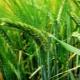 Variedades de cebada de invierno y su cultivo.