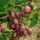 Actinidia argut: fajták, ültetés és gondozás