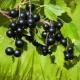 Currant hitam: sifat berguna dan kontraindikasi, ciri penggunaan