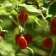 Gumi: tulajdonságok, receptek és termesztési irányelvek