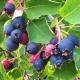 Irga canadense: descrição da variedade, plantio e cuidado