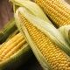 ¿Cómo utilizar el maíz durante el embarazo? ¿Existen restricciones?