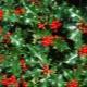 Quais são as plantas com bagas vermelhas?