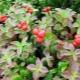 Klopovka: характеристики, свойства и използване на плодове