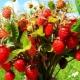 Vadon termő bogyók: nevek, tulajdonságok és gyűjtési szabályok