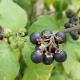 Nightshade fekete: a növények jellemzői és felhasználásai