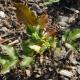 Penanaman Magonia dan penjagaan tumbuhan sedemikian