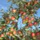 As sutilezas das árvores frutíferas de poda