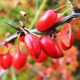 Berry Bushes: As Melhores Variedades e Regras de Cultivo
