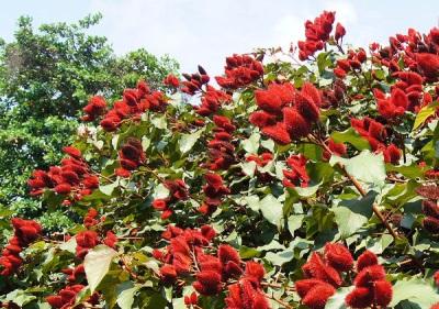 Pokok-pokok Annatto
