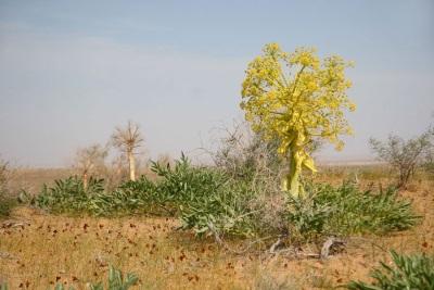 Асафотида расте в пустини и скали