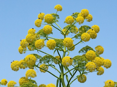 Цветя на Asafoetida