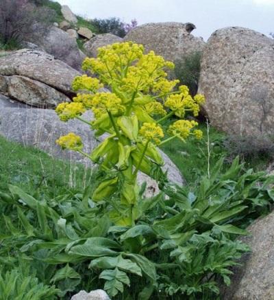 Asaphetid herb