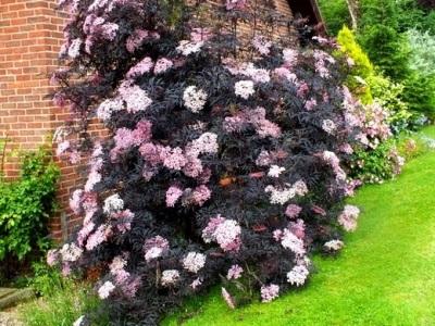 Черно бъз в градината